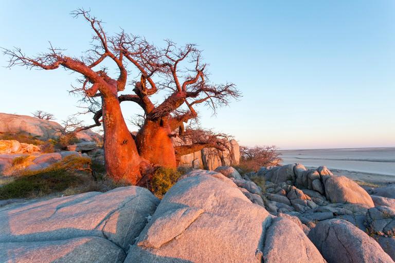 Africa, Botswana, Morning sun lights Baobab trees growing atop dry granite outcrop of Kubu Island in Makgadikgadi Pan within Kalahari Desert