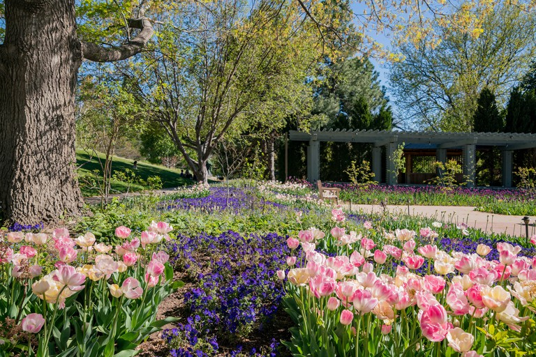 Tulips blossom in the Denver Botanic Gardens, Colorado