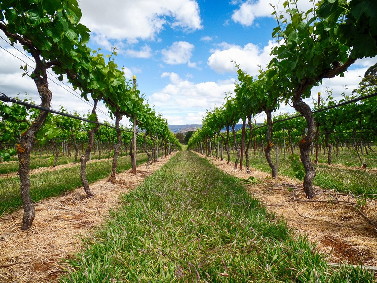 Low angle looking  between the rows of grapes vines after pruning. Scenic rural landscape of grapevines.