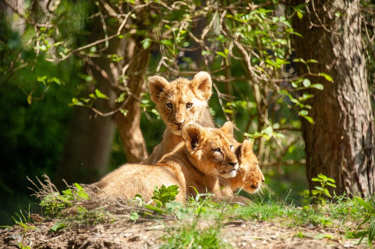 Shot of three lion cubs at Port Lympne Reserve
