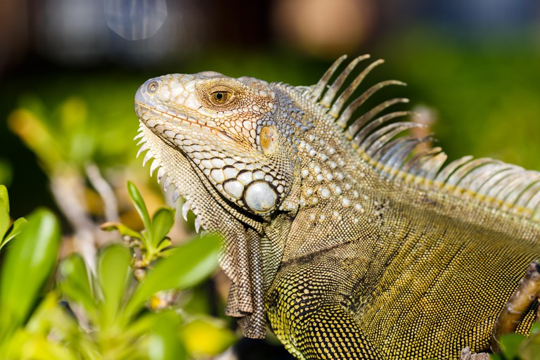 alexis-antonio-awKTWHx2wHE-unsplash iguana