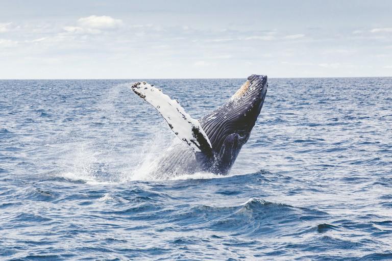 Thomas Kelly Humpback Whale