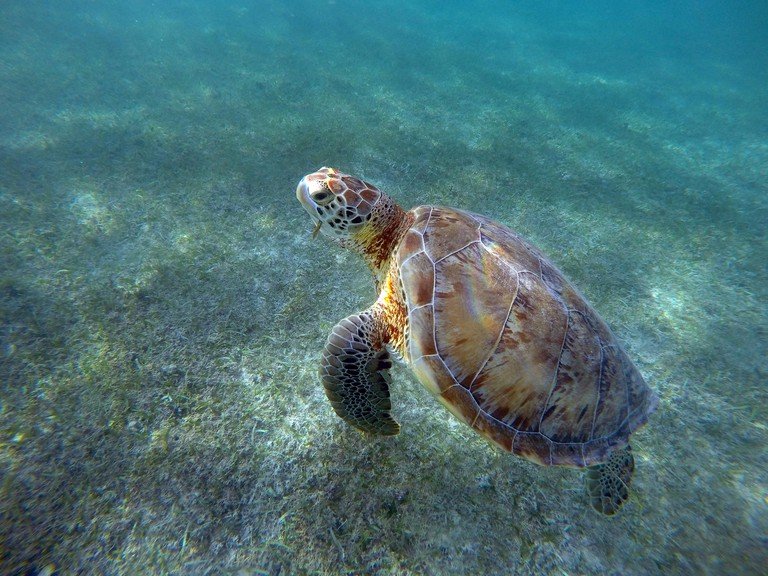 Mexican Sea Turtle underwater swimming