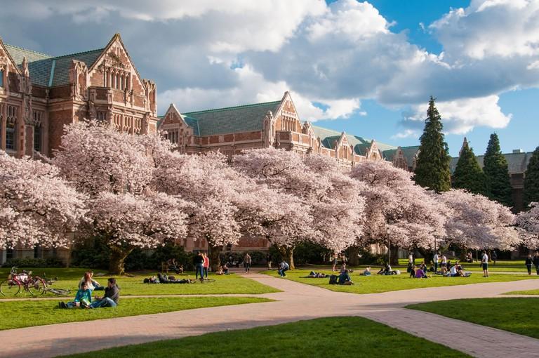 Blooming cherry trees on the University of Washington Quad in Seattle, Washington.