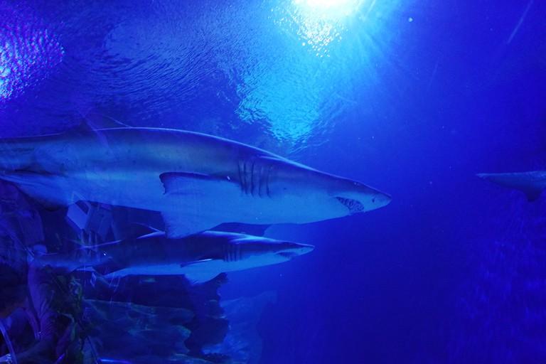 Sharks in aquarium at under world park Kuala Lumpur, Malaysia.