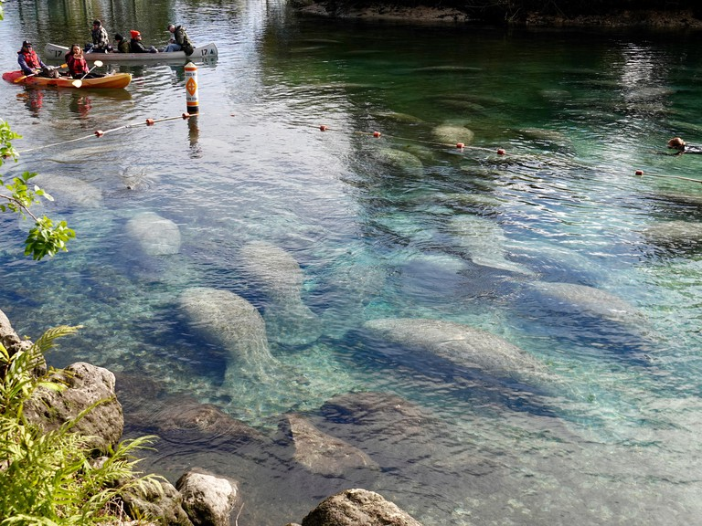 """Crystal River, Florida, USA, 5 January 2018. Frigid temperatures along the west coast of Florida are causing manatees (Trichechus manatus) to seek shelter in warm, protected areas such as the springs at """"Three Sisters."""" Generally a more solitary creature,"""