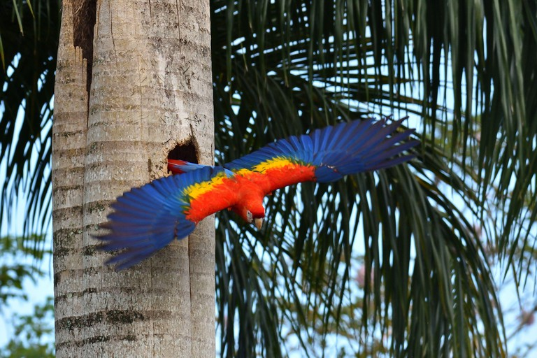 A Scarlet Macaw in to the nest in the old palm tree