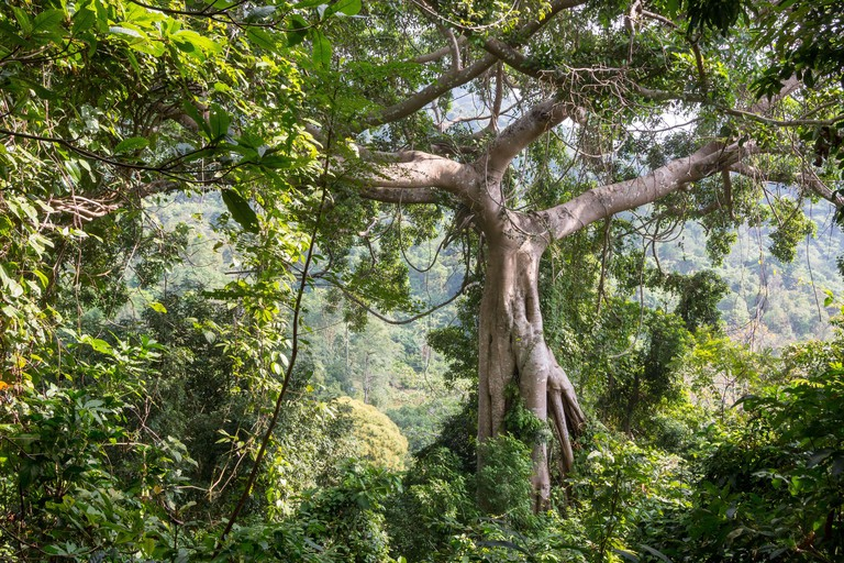 Big tree in Kep National Park, Cambodia