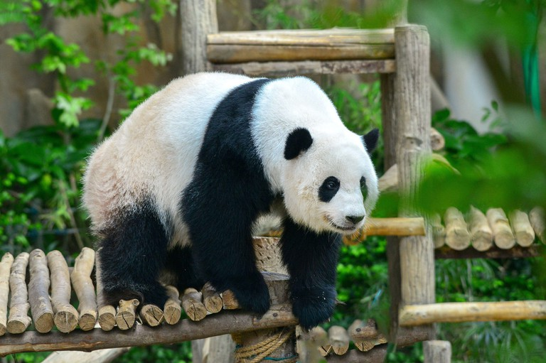 Kuala Lumpur, Malaysia. 19th Dec, 2020. Giant panda Yi Yi plays in the Giant Panda Conservation Center at Zoo Negara near Kuala Lumpur, Malaysia, Dec. 19, 2020. Zoo Negara reopened to the public on Dec. 18 after two months' closure forced by the condition