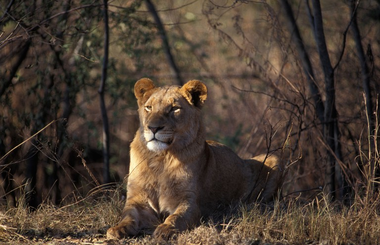 Lion Panthera leo Rhino and Lion Nature Reserve Johannesburg South Africa