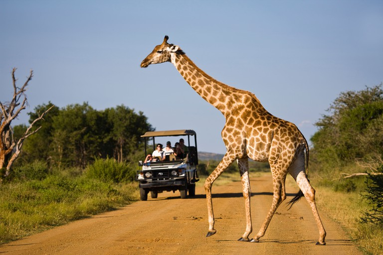 Giraffe (Giraffa camelopardalis) crossing a road in front of a safari vehicle. Madikwe Game Reserve