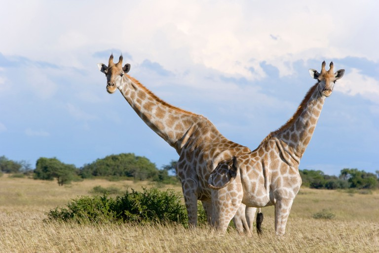Pair of Giraffe looking towards the camera and standing back to back