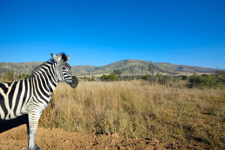 Zebra in open plain, Pilansberg National Park, South Africa