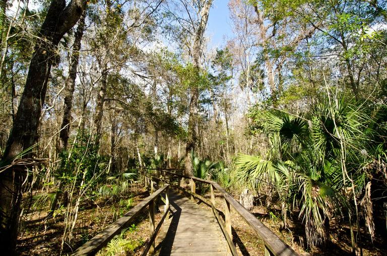 Big Tree Park boardwalk through cypress forest and home of The Senator world record cypress tree, Longwood, FL