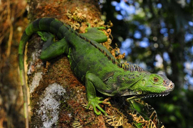 green iguana, common iguana (Iguana iguana), sitting on a tree, Honduras