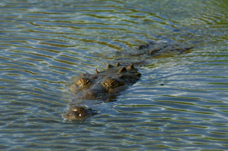 American crocodile (Crocodylus acutus) on the Rio Tarcoles, Costa Rica. Image shot 2007. Exact date unknown.