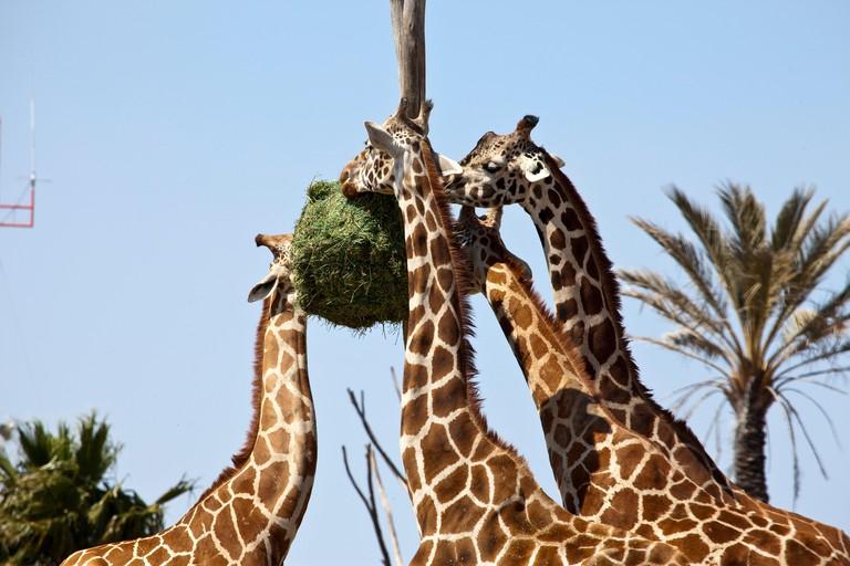 Giraffes eating at Africam Safari Zoo, Mexico