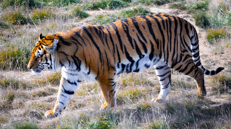 Bengal tiger at Wildlife Sanctuary, Keensburg, Colorado