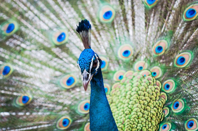 Indian peacock at the KL Bird Park in Kuala Lumpur, Malaysia.