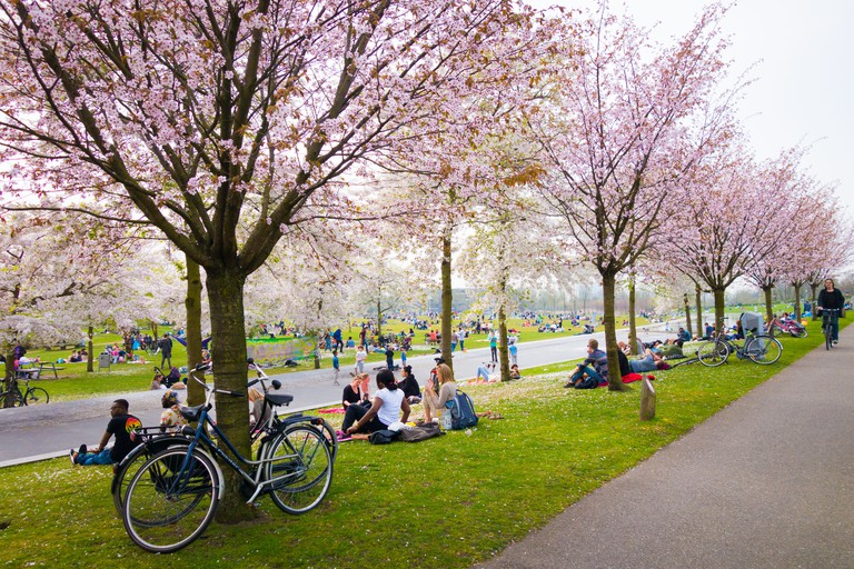 Cherry blossom Trees in bloom in Westerpark Amsterdam