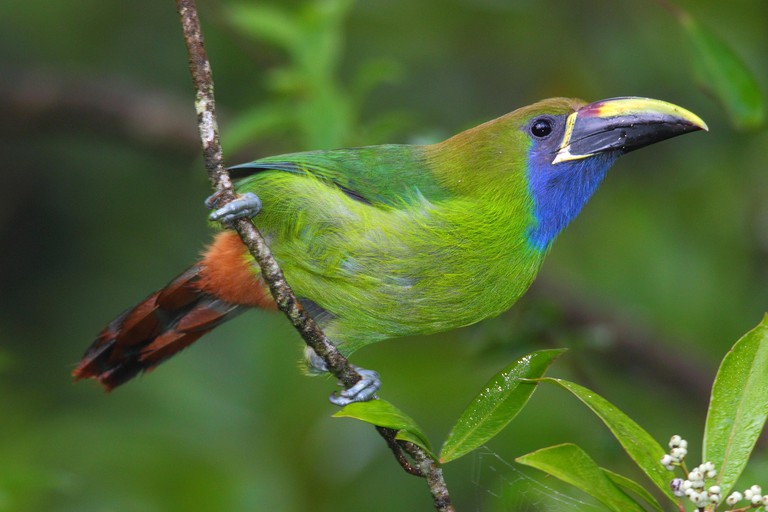 An emerald toucanet, Aulacorhynchus prasinus, in a cloud forest tree.