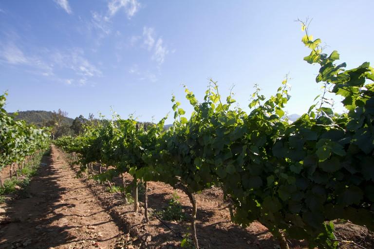 Chardonnay Grapevines In Estancia El Cuadro, Casablanca Valley, Valparaiso Region, Chile