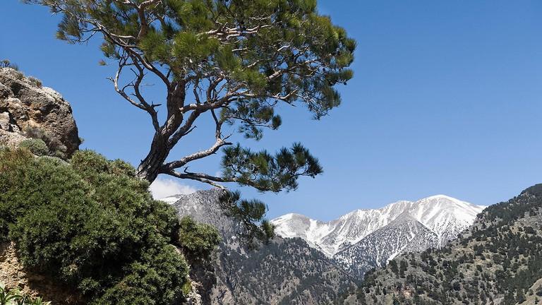 Calabrian pine near Lefka Ori