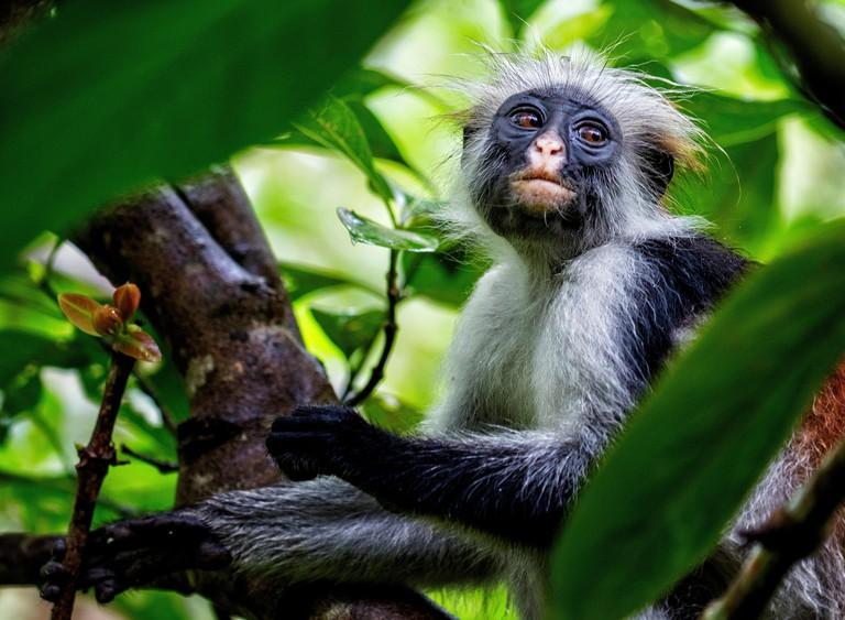 Red colobus monkey Procolobus kirkii at Jozani forest on the island of Zanzibar East Africa