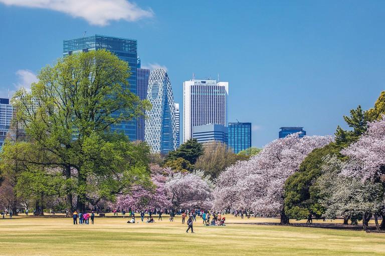 Japan, Tokyo City, Shinjuku district, Shinjuku Gyoen-Park, Cherry Blossoms