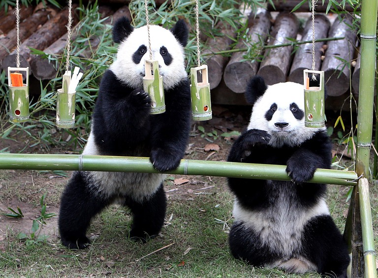 Beijing, China. 4th Oct, 2017. A pair of giant panda cub twins play at Shanghai Wild Animal Park in Shanghai, east China, Oct. 4, 2017. The panda twin cubs turned one year old on wednesday. Credit: Fan Jun/Xinhua/Alamy Live News