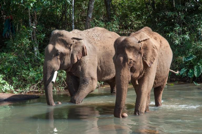 asian elephants while crossing a river, mondulkiri, cambogia