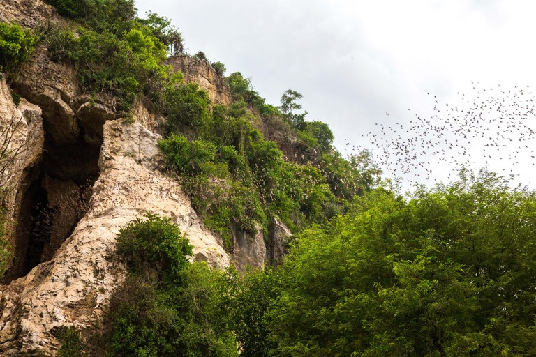 Asian wrinkle-lipped bats fly out of Phnom Sampeu caves each night to hunt insects. Battambang.  Cambodia.