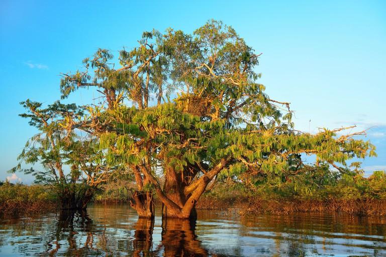 Jacaranda tree (Jacaranda mimosifolia). Laguna Grande. Cuyabeno restricted area. Ecuador.