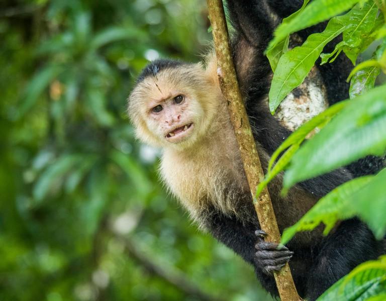 White Faced Monkey,