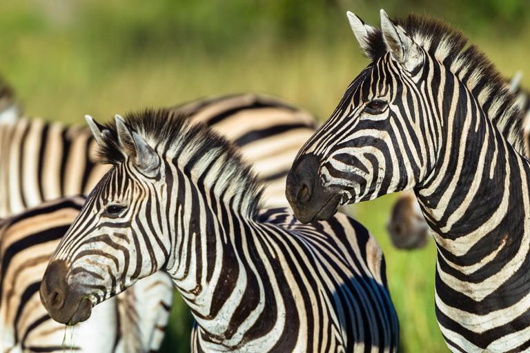 Zebra's wildlife animals in park reserve alert for predators late in the day.