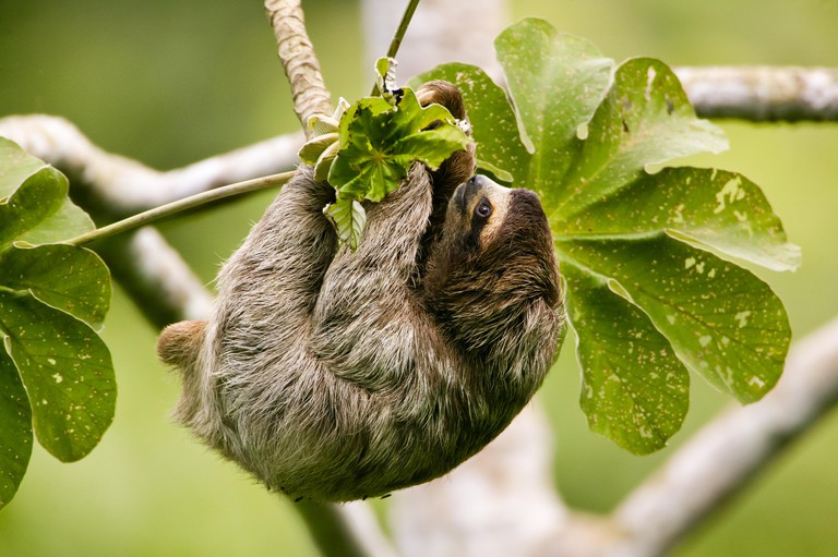 Three-toed Sloth, Bradypus variegatus, in the 265 hectares rainforest Metropolitan park, Panama City, Republic of Panama.
