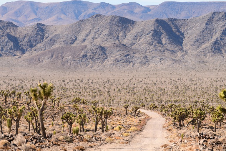 Joshua trees line the 50 miles of dirt road into Saline Valley in Death Valley National Park, California - MXDGFJ