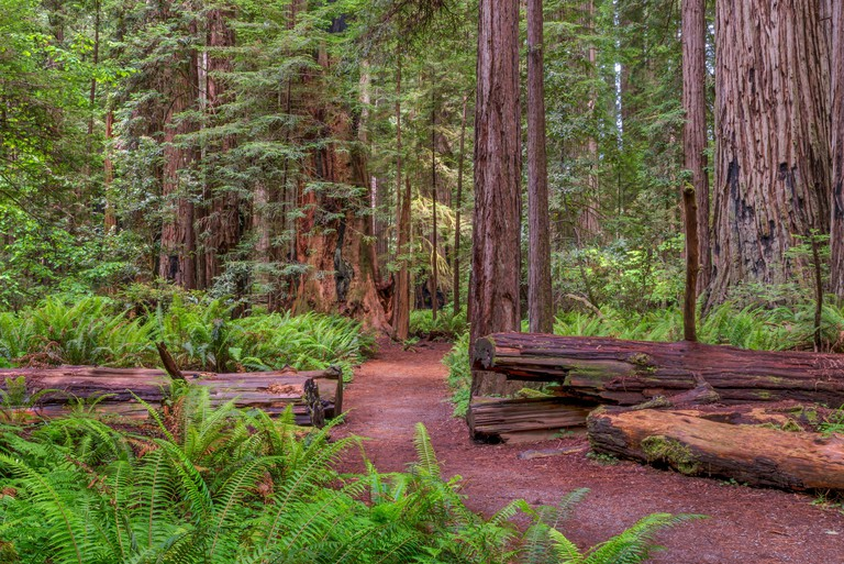 Sun between rain storms on a path in Stout Memorial Grove, Jedediah Smith Redwoods State Park, CA, USA.