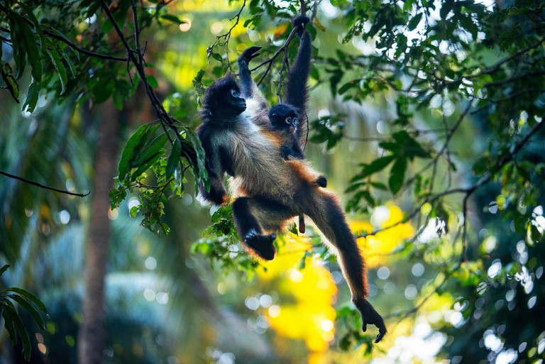 Some spider monkeys in Puerto Barillas in Jiquilisco Bay in Gulf of Fonseca Pacific Ocean El Salvador Central America. Critically Endangered Nicarag