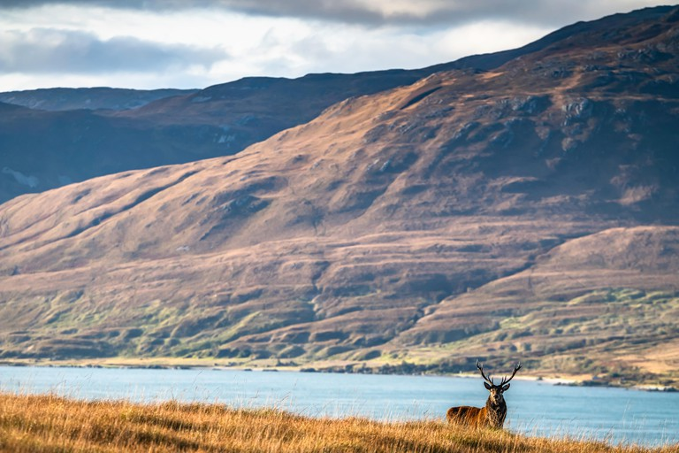 Isle of Jura, Inner Hebrides, Scotland, UK. 1st October 2019. A Red Deer Stag on the Isle of Jura looking across the Sound of Islay. Jura's name deriv