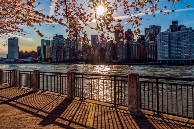 Sun setting behind cherry blossoms (Kwanzan Prunus serrulata) with a view of the Manhattan skyline, viewed from Roosevelt Island