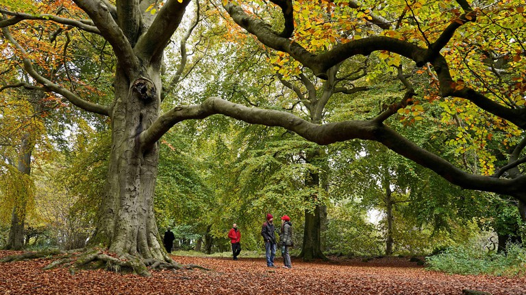 Edinburgh, Scotland, UK. 17th Oct 2020. Under an old Beech tree among the ancient woodlands, people enjoying the Autumn walks and trails in the woods on Corstorphine Hill, one of the seven hills of Edinburgh and a popular area for walking and enjoying the