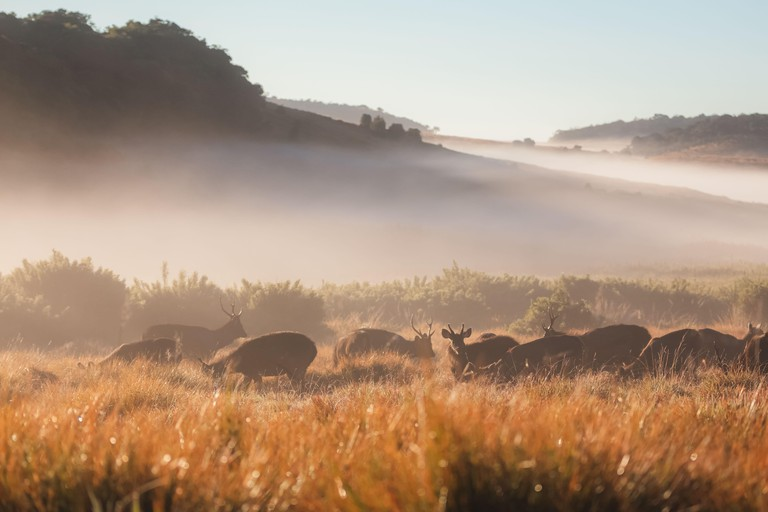 A herd of Sambar Deer (Rusa unicolor) on a foggy morning in the countryside landscape of Horton Plains National Park in the central highlands of Sri L