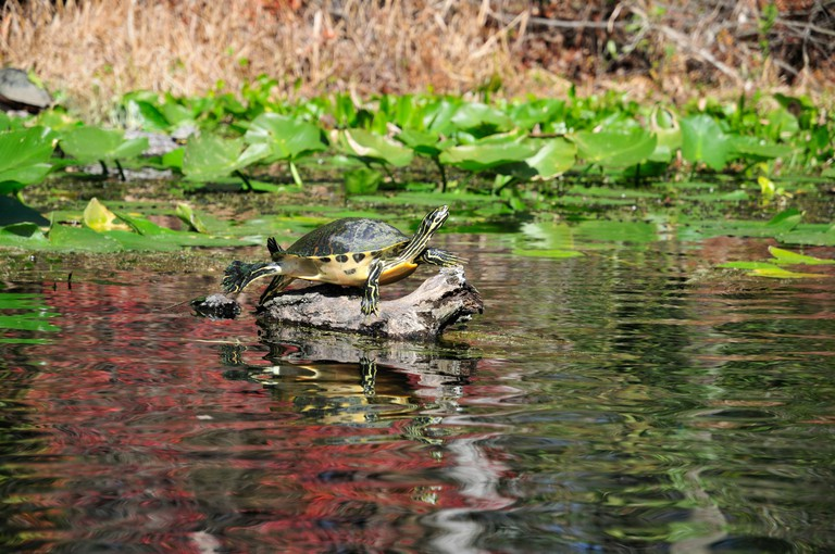 A Florida turtle relaxes on a tree branch in Alexander Springs, Florida. Image shot 2012. Exact date unknown.