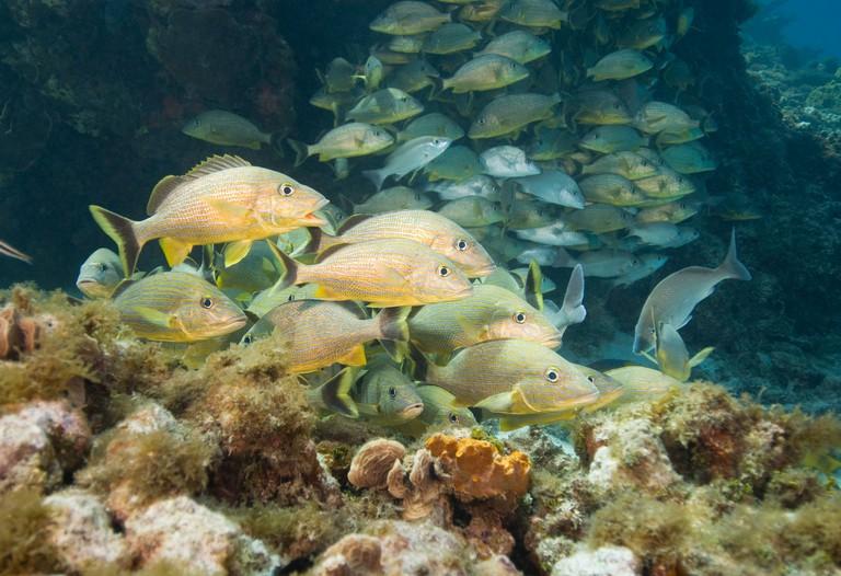 AYCPMJ Bluestriped Grunts swim in school just above the bottom of the sea, San Andres Island Colombia Caribbean Sea