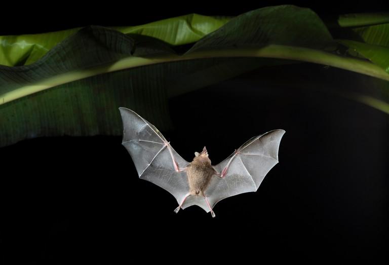 Seba's short-tailed fruit bat (Carollia perspicillata) flying at night in banana plantation, Costa Rica