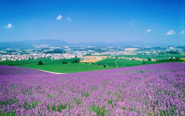 Field of lavenders, Furano city, Hokkaido prefecture, Japan
