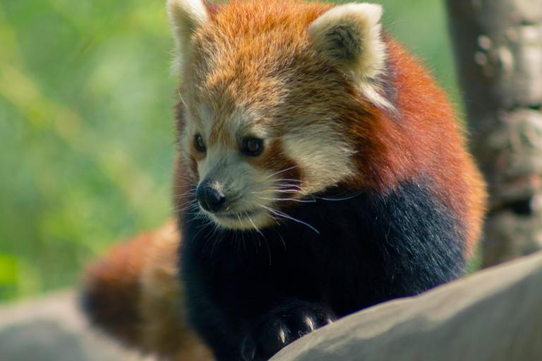 MTADKY Red Panda in Birmingham Wildlife Conservation Park