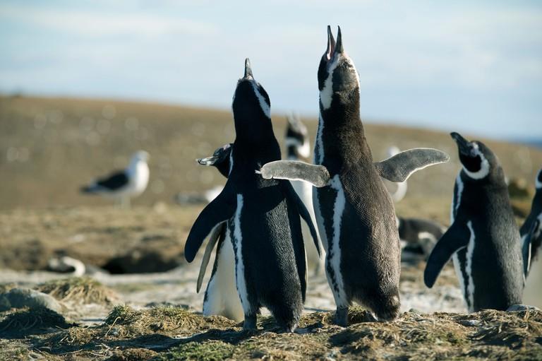 Chile, Patagonia, near Punta Arenas, Isla Magdalena, Magellanic penguins
