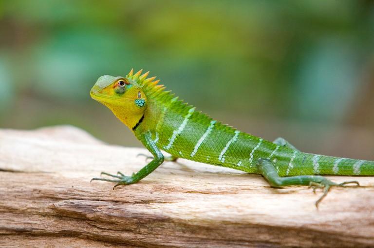 Green garden lizard (calotes calotes), Sinharaja Forest Reserve, Southern, Sri Lanka